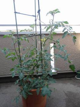 ベランダ菜園0010.JPG